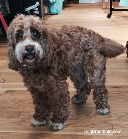 Matty the Cockapoo is standing on a hardwood floor inside of a store. Matty is looking towards the camera and it looks like she is smiling