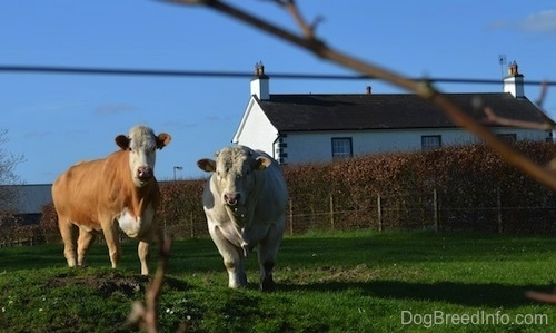 Two cows are standing in grass next to eachother and they are looking forward. There is a farm house in the background.