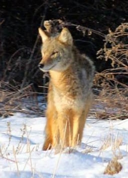 A Coyote standing on snow and it is looking to the left.