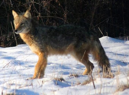 The left side of a Coyote thatis looking to the left and it is standing on snow