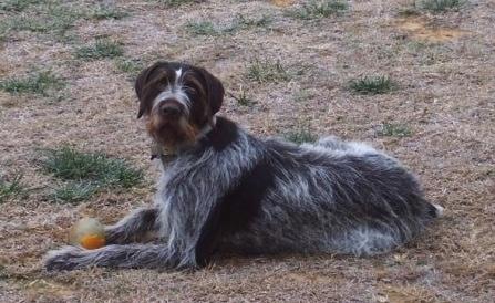 Deutsch Drahthaar Dog Breed Information