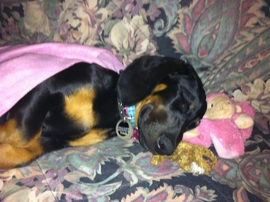 Cheyenne the Dobie-Basset Puppy is sleeping on a couch. There is a pink monkey plush doll in front of her head