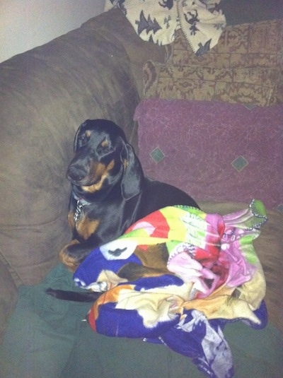 Cheyenne the Dobie-Basset Puppy is sleeping against the back of a couch. There is a blanket in front of her