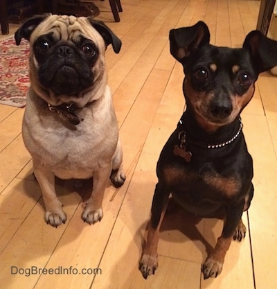 A tan with black Pug is sitting next to a black with tan Miniature Pinscher on a hardwood floor looking up.