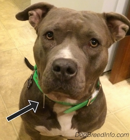 Leia the American Pit Bull Terrier is sitting on a tiled floor in front of a refrigerator and looking up. There is an arrow pointing to the 2 inches of cloudy drool.