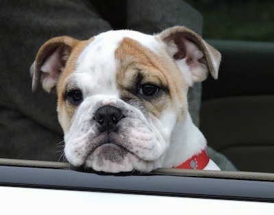 Close Up - Chicklet the English Bulldog puppy sticking its head out of a car window