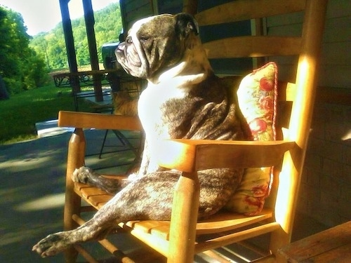Hank the English Bulldog sitting on a wooden rocking chair leaning against a pillow on a porch with the sun shining on him