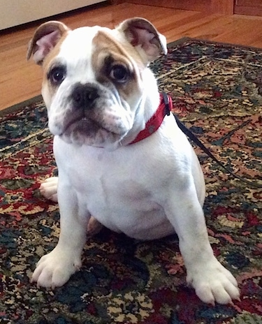 Chicklet the English Bulldog puppy sitting on a rug