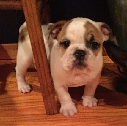 The front right side of a white with brown English Bulldog puppy that is standing around the leg of a chair.