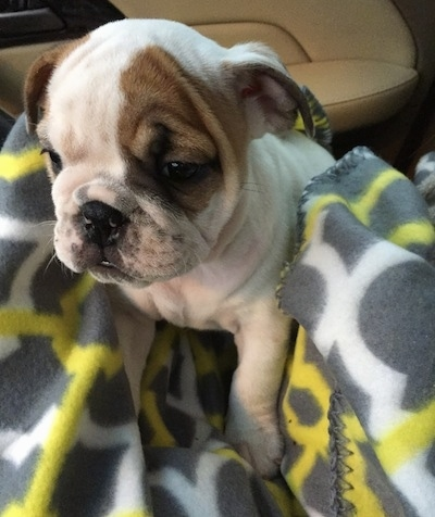 Close up - The front left side of a white with brown English Bulldog puppy that is sitting on a blanket in a vehicle.