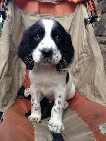 Close Up - Winter Sam the black and white ticked English Springer Spaniel puppy is sitting in a baby stroler.