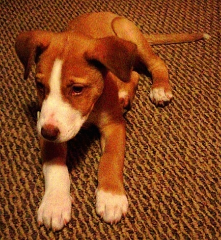 Axle the red and white Entlebucher Pit puppy is laying on a brown carpet and looking forward