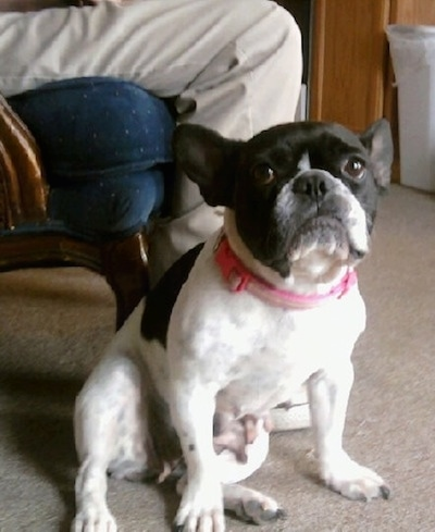 A white with black French Bulldog wearing a pink collar sitting on a tan carpet in front of a person in an arm chair