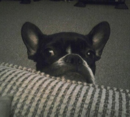 Close up head shot - a black and white French Bulldog is sitting in front of a couch and looking over the edge at a person.