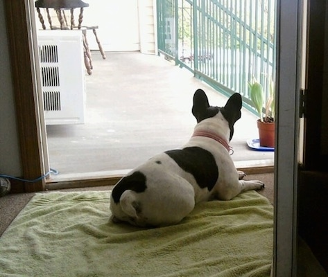 A white with black French Bulldog is laying in an open doorway on top of a green towel looking out onto a sunny porch that has an AC, a chair and a plant on it with a green railing.