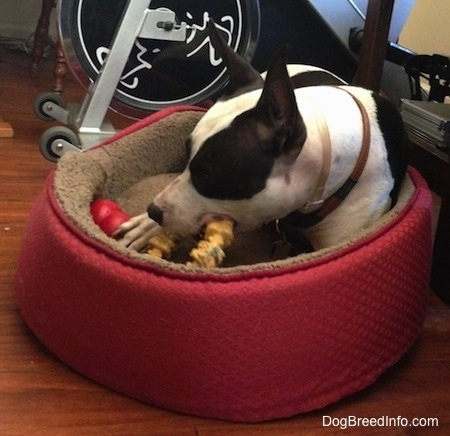 Duncan the black and white Frenchie Staff is laying in a red dog bed. There is an exercise bike behind him and he is biting at a circular chew toy