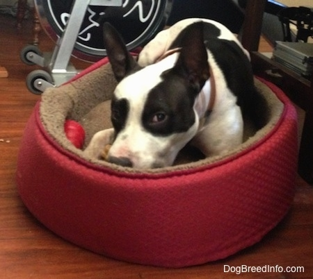 Duncan the Black and White Frenchie Staff is laying in a red dog bed. There is a exercise bike behind him.