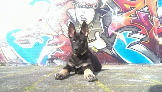 A black with tan Gerberian Shepsky puppy is laying on a black top in front of a mural