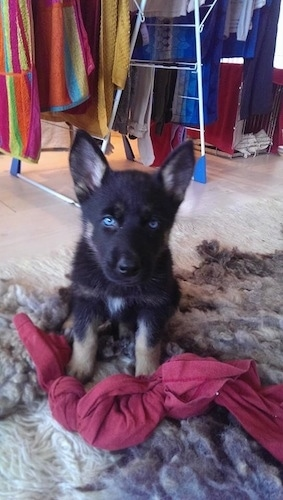 A little blue-eyed black with tan Gerberian Shepsky puppy is sitting on a fluffy rug and there is a red sheet with a knot in it, in front of the Puppy