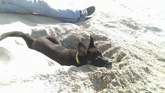 A black with tan Gerberian Shepsky puppy is laying in a hole in the sand. There is a person sitting in the sand behind the it.