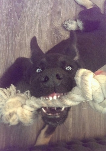 Close Up - A blue-eyed black with tan Gerberian Shepsky puppy has a rope toy in its mouth while laying on a hardwood floor.