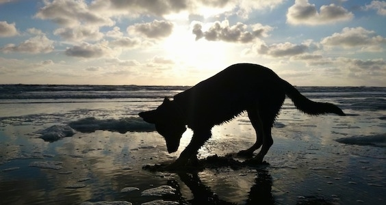 The Silhouette of a wet black with tan Gerberian Shepsky puppy digging into sand on a beach. The sun is setting in the background