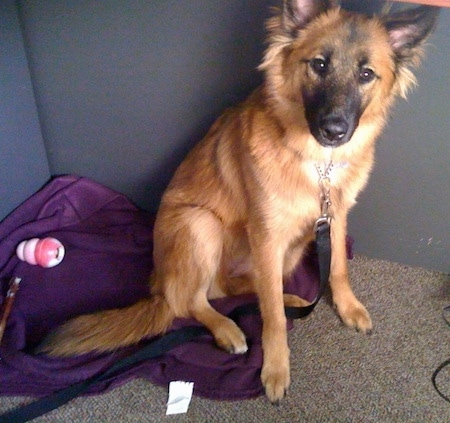 A brown with black Malinois X is sitting on a purple blanket in the corner of a room that has a tan carpet.
