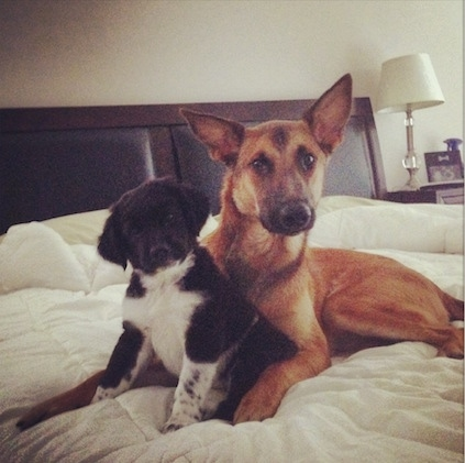 A large-eared brown with black Malinois X is laying on a human's bed in front of a black and white puppy that is sitting between its front paws. The puppy's head is tilted to the left. There is a night stand with a lamp that has a white lamp shade next to the bed.