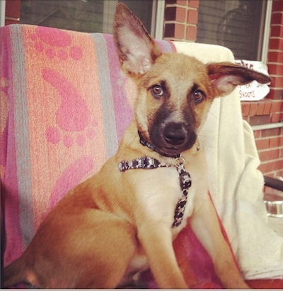 A large-eared brown with black Malinois X puppy is sitting on a deck in front of a brick house on a chair that has a colorful beach towel over the back of it. The towel is orange, blue and purple with pink foot prints down the middle of it.