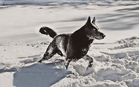 A black German Shepherd is trotting through and covered in snow.