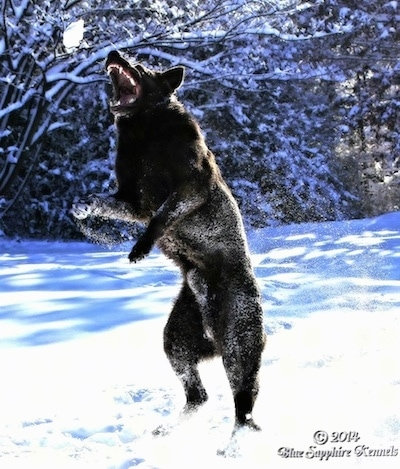 A black German Shepherd is jumping in snow to catch a snow ball in the air. Its mouth is open and teeth are showing.