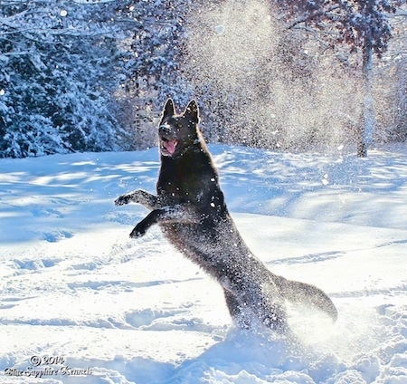 A black German Shepherd is jumping up in snow. Its mouth is open and its tongue is hanging to the right