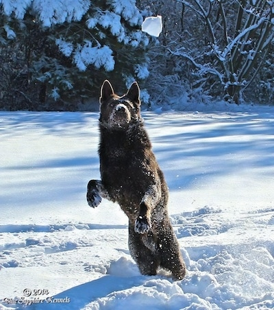 A black German Shepherd is covered in snow jumping up to catch a snowball that is in mid-air in front of it.