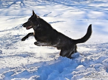 A black German Shepherd is jumping across deep snow