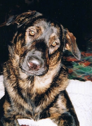 A black and brown German Sheprador is laying on a human's bed with its head tilted to the right