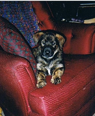 A small black and brown German Sheprador puppy is laying on a red arm chair with a colorful pillow and blanket next to it