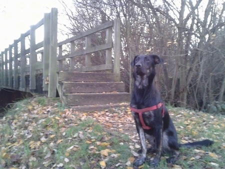 A black with tan German sheprador is wearing a red harness sitting in front of a wooden bridge