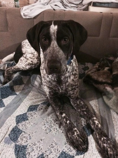 A white and black ticked German Shorthaired Pointer is ...  |Black Ticked German Shorthaired Pointer Puppies