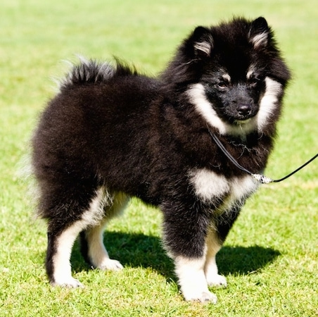 A fluffy black with white and tan German Spitz is standing outside in a field