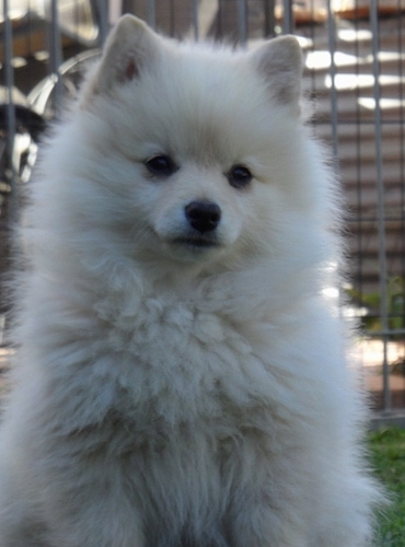 White german spitz puppy
