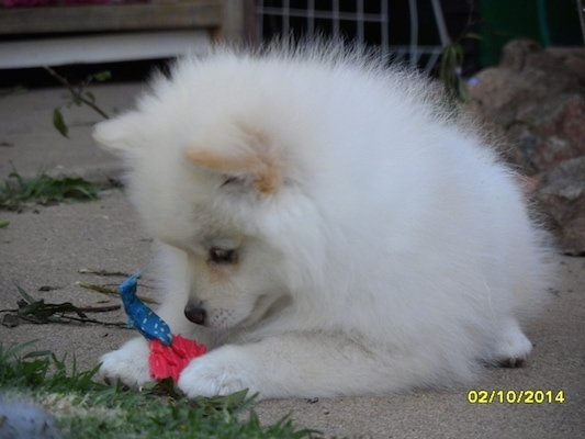 A white with tan German Spitz is laying outside and looking at a toy in between its paws