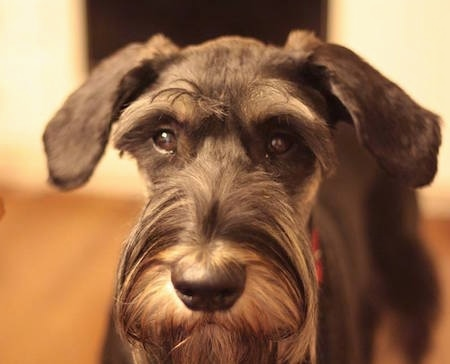 Close Up head shot - A black and silver Giant Schnauzers face