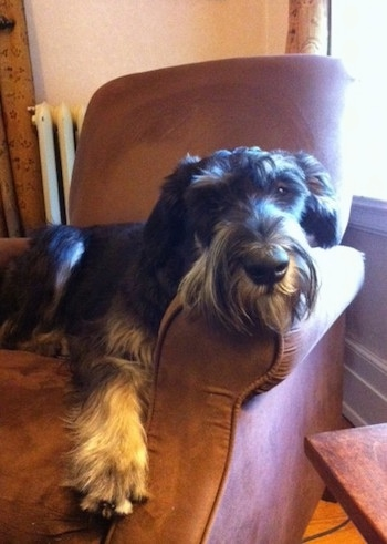 A black and silver Giant Schnauzer is laying in an arm chair with a white register heater behind it.