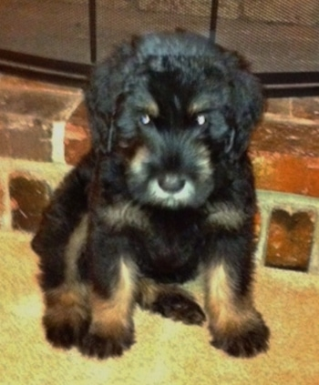 A black and silver Giant Schnauzer puppy is sitting on a tan carpet in front of a brick fire place