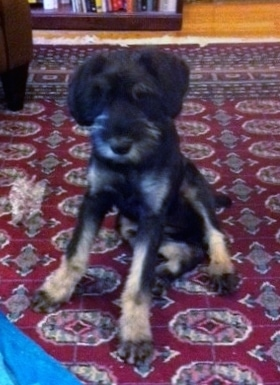 A black and silver Giant Schnauzer puppy is sitting on a red oriental rug and looking forward