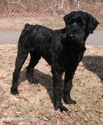 A black Giant Schnauzer is standing in brown grass with a road behind it
