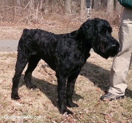 A black Giant Schnauzer is standing in grassn in front of woods and there is a person next to it