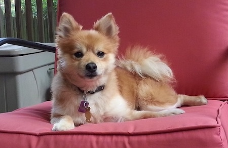 A shaved, red with white Pomeranian is laying on a red porch chair and it is looking forward. The dog has small perk ears.