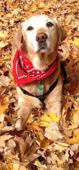 A graying Golden Retriever wearing a red bandana is laying in a field covered in leaves. It is looking up.