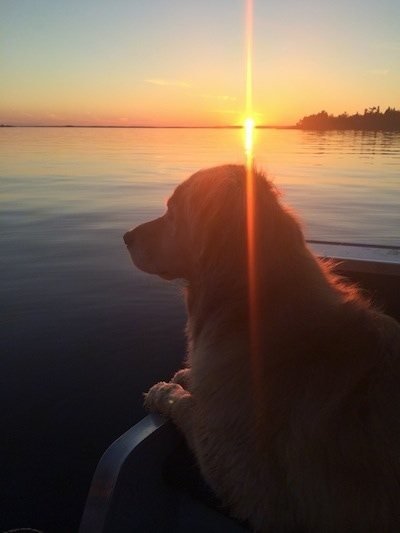 A Golden Retriever in a boat. It is looking out into a body of water and the sun is setting